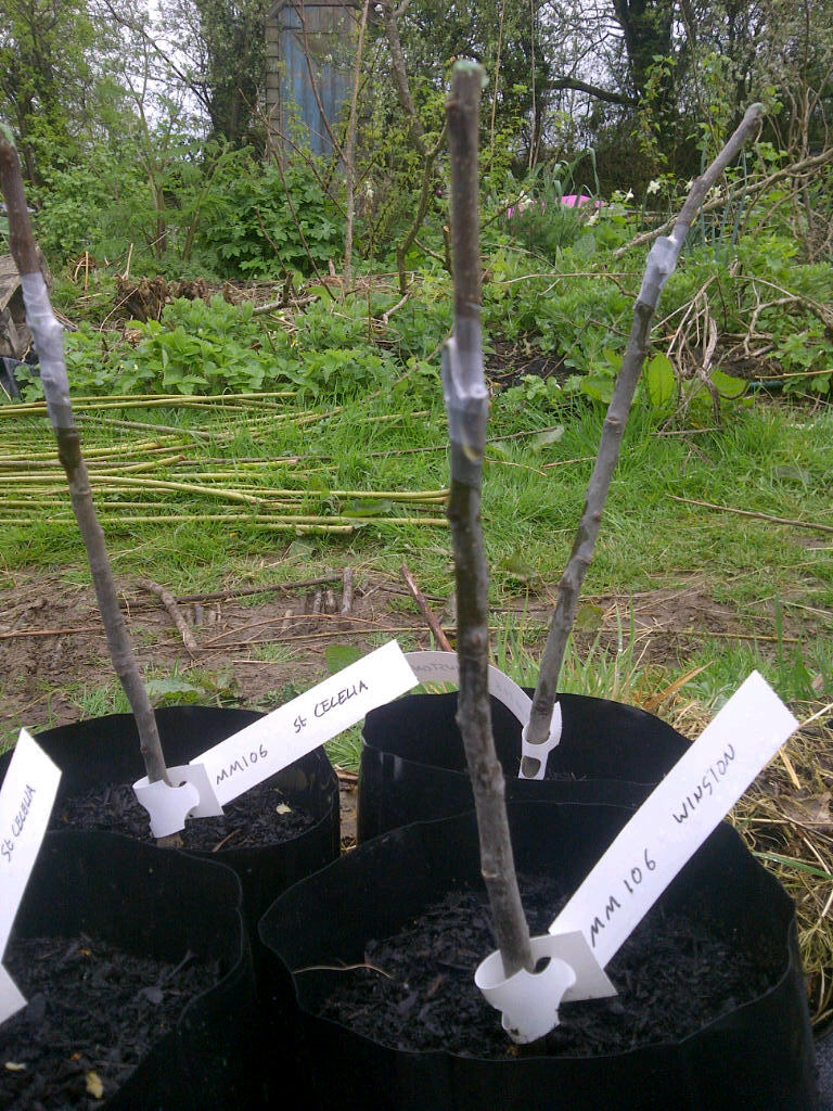 Freshly grafted Apple Trees