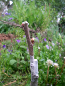 Buds starting to open on a recently grafted Bardsey apple tree