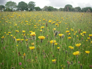 A profusion of Rough Hawkbit and Cats Ear, summer 2014