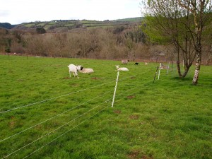Goats and sheep and electric fence