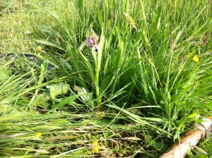orchid in the hay field